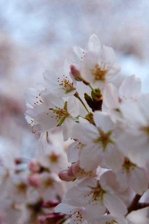 2015桜FullSizeRender.jpg